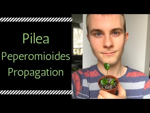 How to Propagate Pilea peperomioides (Chinese Money Plant)