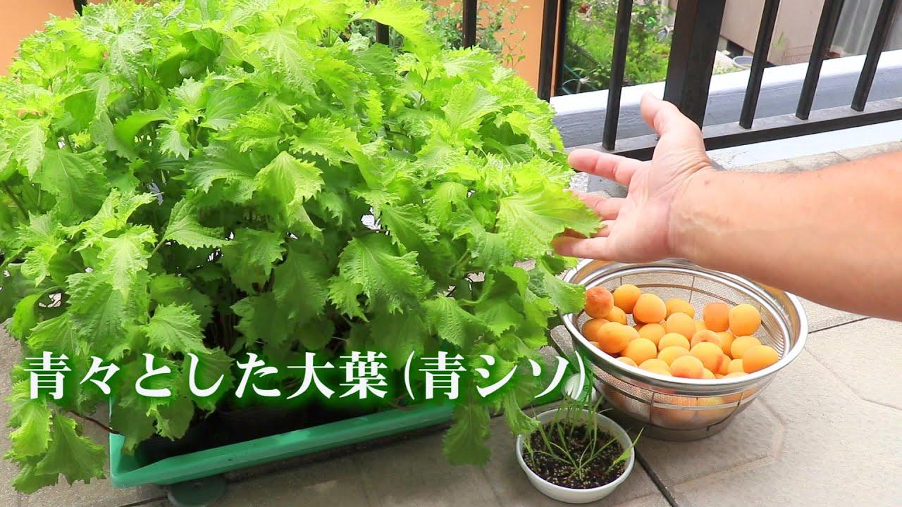 梅に青シソで爽やかな香り付け (*'▽') Season the Ume plums with green perilla!