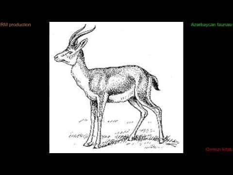 Ceyran - Azərbaycan faunası Goitered gazelle Джейран Azerbaijan