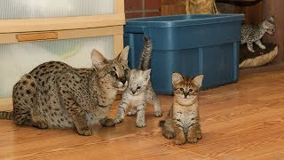 Silver & Gold F2 Savannah Kittens - Learning to Play!