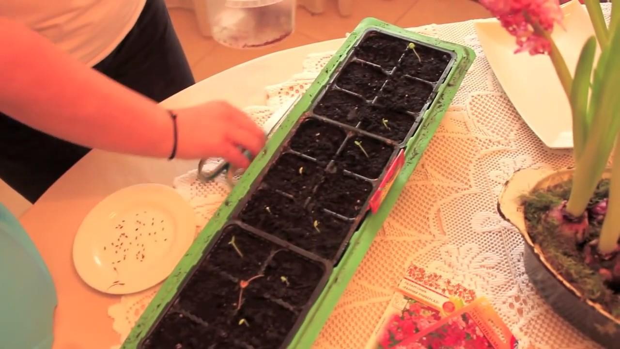 Как собрать семена #пеларгонии ампельной. - YouTube
