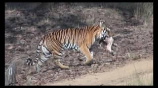 Wild Safari story  at Ranthambore National tiger Park