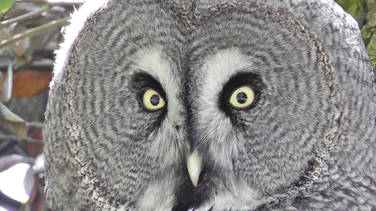 Great Grey Owl - Lappuggla Owls - YouTube