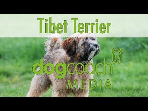 Hunderasse Lexikon: Tibet Terrier