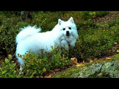 #0195 My Japanese Spitz loves lowbush