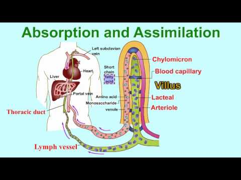 Absorption and Assimilation-VILLUS- vitamins and water enter into body fluids through the villi