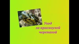 Уход за красноухой черепахой  Водный питомец и как за ним ухаживать