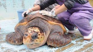アカウミガメの産卵地で知られる徳島県美波町の大浜海岸。そばにある「...