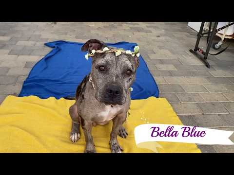Beautiful Bella Blue Needs to be Rescued