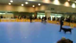 FCI大阪インター2014年12月7日ラブラドール牝BOB Group-ⅣCrystal Red o...