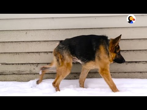 German Shepherd With Short Spine Syndrome Just Wants Love | The Dodo