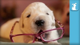 2 Week Old Golden Retriever Puppy Needs Eye Glasses - Puppy Love