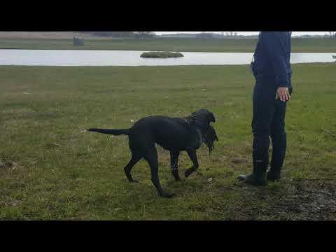 AKC Master Hunt Test Water Series