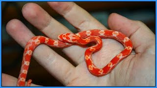 Taming and Handling Baby Snakes - How to Handle Your New Hatchling Snake