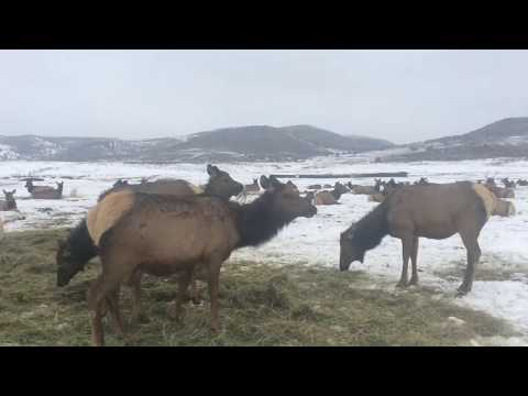 Elk Watching - Surrounded By Elk! (Hardware Ranch 2018)