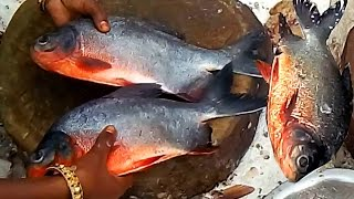 Red Pomfret Fish Cutting | Amazing Cutting Pomfret Fish | Big Pomfret Fastest Fish Cutting