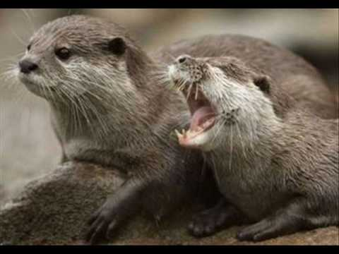 Asian Small Clawed Otter - YouTube