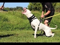 Perfect Dogo Argentino - Protection Training [Mr Friend]