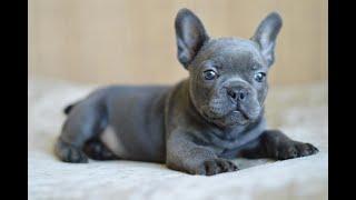 Французский бульдог Чиро скоро увидит своих родителей ! French Bulldog blue