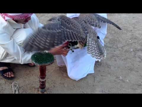 Falcon Training HD