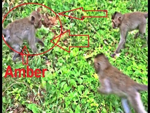 Two babies monkey tried to attack Amber, but they was unable and got a fight back from Amber