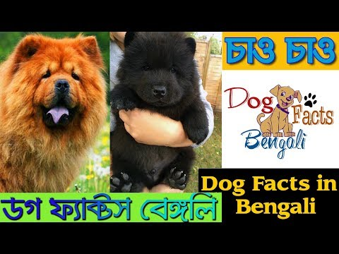 Chow Chow Dog Facts in Bengali | Dog Facts Bengali | Chinese Dog