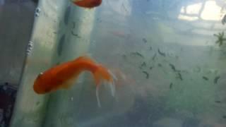Cá cảnh . Cá bình tích,cá đuôi kiếm,cá ba đuôi :) :)