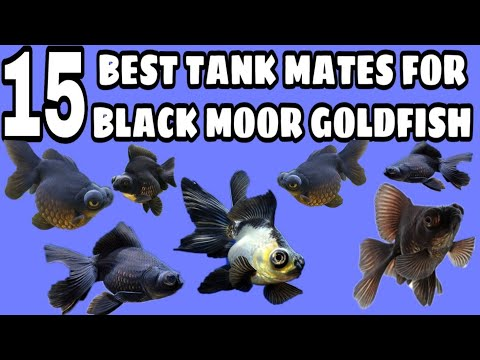 Black Moor Goldfish Tank Mates