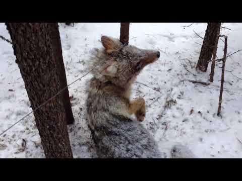 Trapline Fur Trapping Check #5