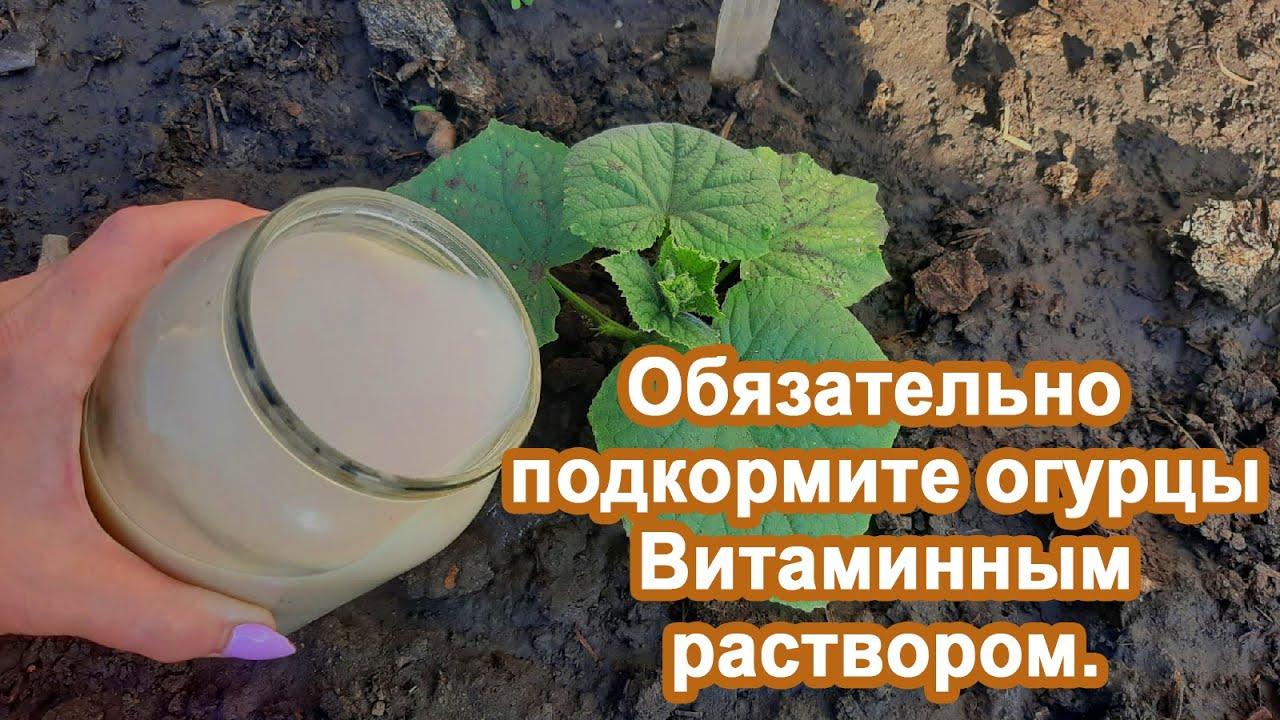 Огурцы завалят урожаем Если внести раствор в Июне Народная подкормка для помощи огурцам в росте.