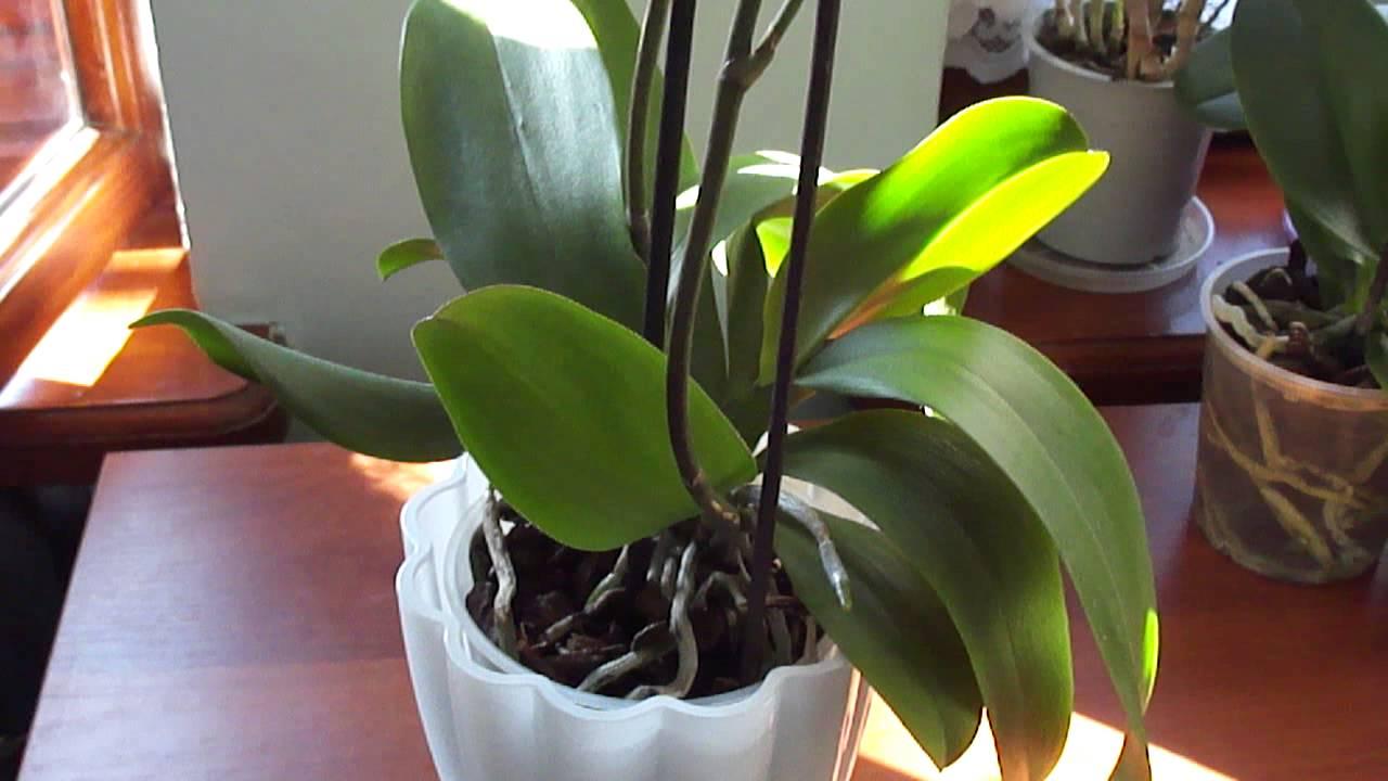 Теряют тургор листья орхидеи