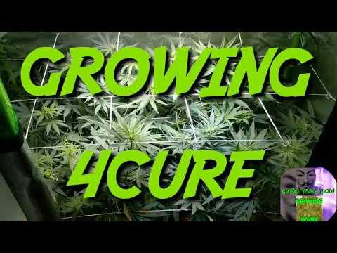 Blue Dream day 7 flower update - Cheap Budget Marijuana grow tent