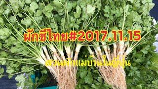 วิธีปลูกผักชีไทย ในญี่ปุ่น:ช่วงที่4ถอนต้นและรากผักชีไทย ส่งลูกค้า 2017.11.15 thumbnail