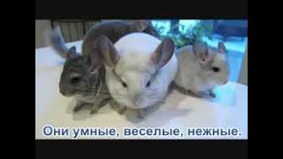 Шиншиллы -  забавное видео о шиншиллах :)(ЗАБАВНОЕ ВИДЕО О ШИНШИЛЛАХ. www.chinpets.com - Николаевский питомник шиншилл