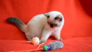 Предлагаем: Котенок-котик шотландский прямоухий редкого окраса  сил-поинт.