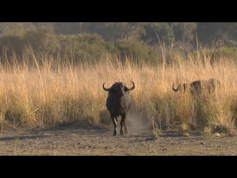 African Buffalo Hunt. Namibia Caprivi Hunting at its Best