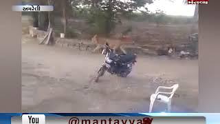 Amreli: Viral video of lion walking in the Rajula Village | Mantavya News