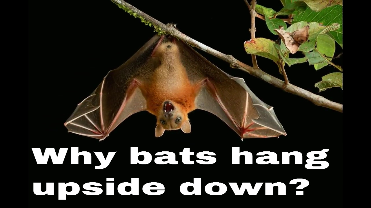 why bats hang upside down youtube