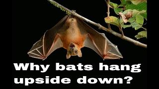 Why bats hang upside down?
