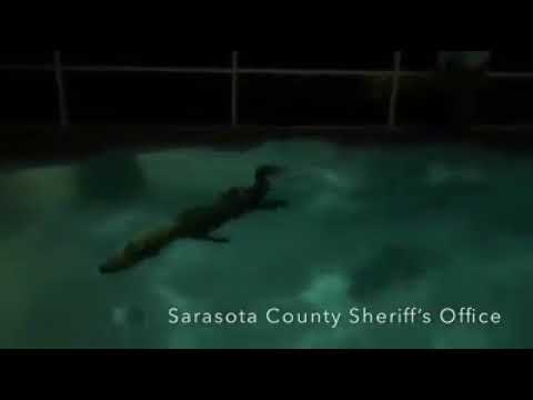 Watch an 11-foot alligator take a dip in a Florida home's swimming pool