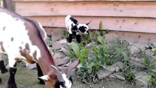 Holandská mini Koza