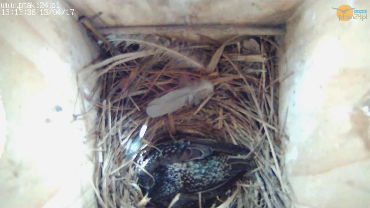 Cztery jajka szpaków w budce lęgowej #01 w ogrodzie
