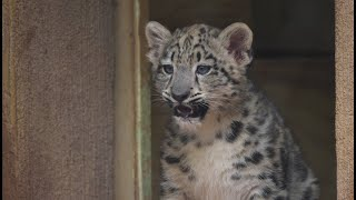 Baby Snow Leopard Calls Out to Mom