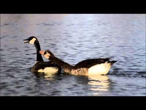canada goose hybrid