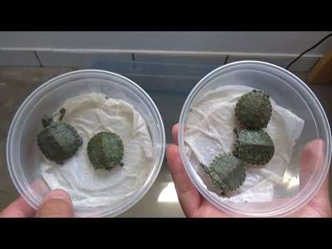 Unboxing BABY TURTLES!!! (HATCHLINGS)