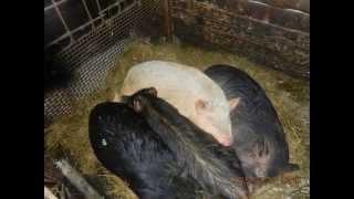 Животные, коровы, свиньи, содержание животных, содержание свиней, содержание коров