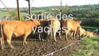 poussage des vaches en quad jusqu au champ