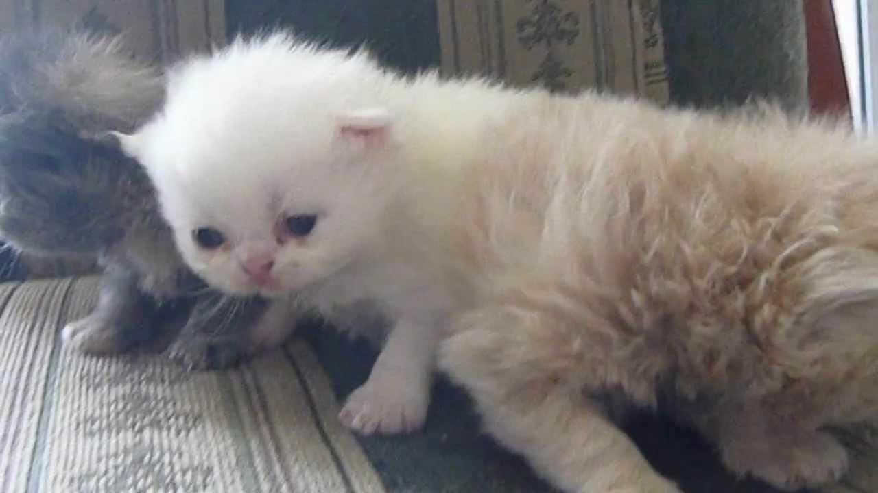 Gatos persas de 17 dias