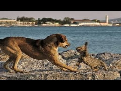 Cat attacks the dog. The cat protects the owners from the dog