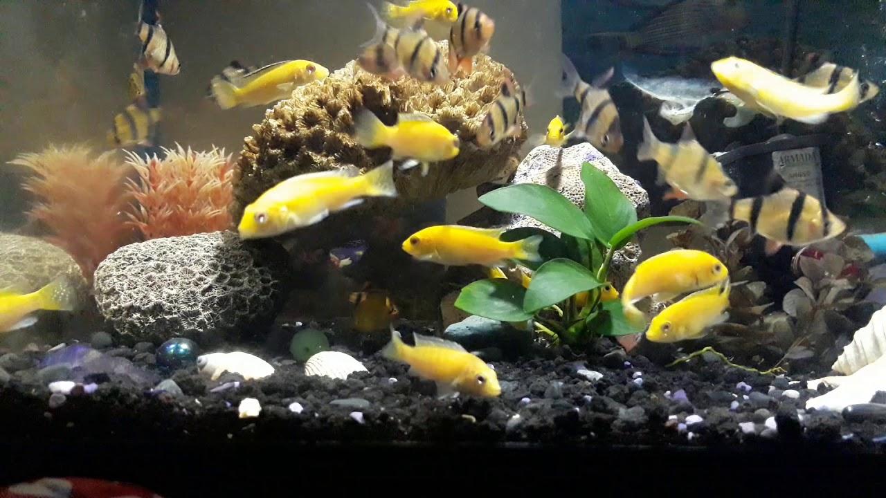 Ikan Lemon Dan Ikan Sumatra Satu Aquarium Youtube
